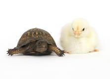 Onwaarschijnlijk paar - schildpad en babykuikens Stock Afbeeldingen