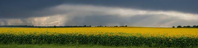 Onweer over een gebied van zonnebloemen. Royalty-vrije Stock Foto's