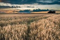 Onweerswolken over cornfield in de avond Stock Foto