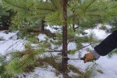Onwettig registreren voor het nieuwe jaar Het snijden van een Kerstboom royalty-vrije stock foto