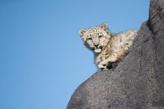 Onza joven Cub que sube en roca Foto de archivo