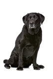 Onze années de Labrador noir Photographie stock