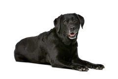 Onze années de Labrador noir Photos libres de droits