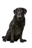 Onze anos de Labrador preto velho Fotografia de Stock