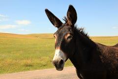 Onze wilde ezelsvriend in de Zwarte Heuvels Royalty-vrije Stock Foto's