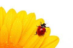 Onzelieveheersbeestje Stock Fotografie