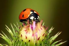 Onzelieveheersbeestje stock afbeelding