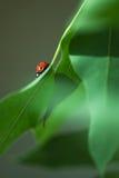 Onzelieveheersbeestje Stock Foto's
