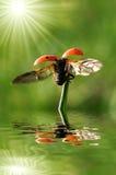 Onzelieveheersbeestje Royalty-vrije Stock Foto