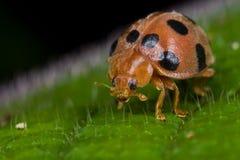 Onzelieveheersbeestje Stock Foto