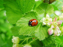 Onzelieveheersbeestje bij het groene bladeren bloeien Royalty-vrije Stock Afbeelding