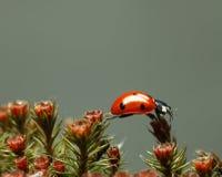 Onzelieveheersbeestje die op de rode bovenkant van het bloesemmos lopen Stock Foto