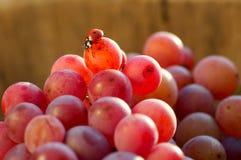 Onzelieveheersbeestje en druiven Royalty-vrije Stock Foto