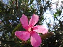 Onzelieveheersbeestje en neriumbladluis in bloemoleander royalty-vrije stock foto's