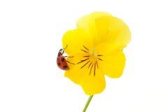 Onzelieveheersbeestje en viooltje Royalty-vrije Stock Foto's