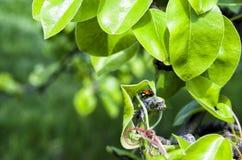 Onzelieveheersbeestje het verbergen Royalty-vrije Stock Fotografie