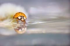 Onzelieveheersbeestje/Lieveheersbeestje Royalty-vrije Stock Afbeeldingen