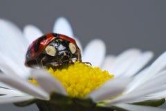 Onzelieveheersbeestje of lieveheersbeestje op een madeliefje Stock Foto
