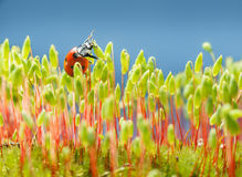 Onzelieveheersbeestje in mos Stock Foto's