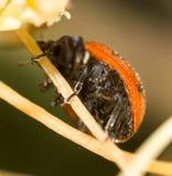 Onzelieveheersbeestje op aard Macro royalty-vrije stock foto