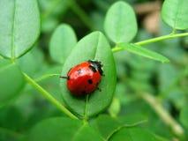 Onzelieveheersbeestje op blad Stock Foto's