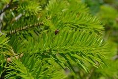 Onzelieveheersbeestje op de cederpoot stock foto's