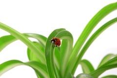 Onzelieveheersbeestje op de groene spruiten Royalty-vrije Stock Afbeelding