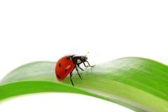 Onzelieveheersbeestje op de groene spruiten Royalty-vrije Stock Fotografie