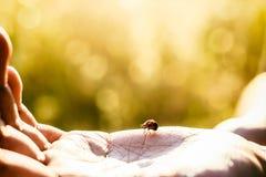 Onzelieveheersbeestje op de hand stock foto's