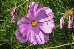 Onzelieveheersbeestje op de purpere bloem Stock Fotografie