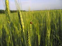 Onzelieveheersbeestje op de tarwe stock afbeelding