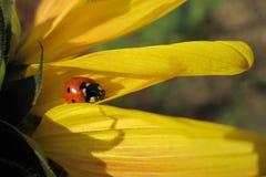 Onzelieveheersbeestje op de zonnebloem Stock Foto