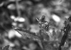 Onzelieveheersbeestje op een blad royalty-vrije stock afbeeldingen