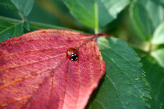 Onzelieveheersbeestje op een blad Stock Foto