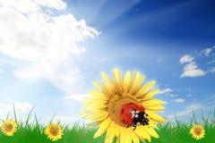 Onzelieveheersbeestje op een bloem Royalty-vrije Stock Afbeeldingen