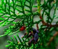 Onzelieveheersbeestje op een gebladerte stock foto