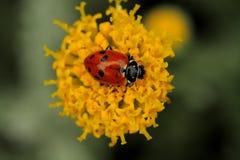 Onzelieveheersbeestje op een gele bloem Royalty-vrije Stock Foto's