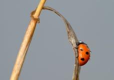 Onzelieveheersbeestje op een grassprietje Stock Fotografie