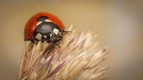 Onzelieveheersbeestje op een Oor van Tarwe royalty-vrije stock afbeeldingen