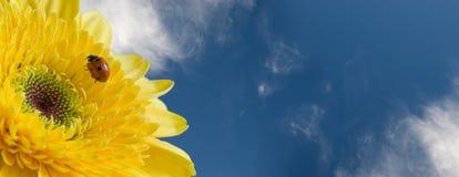 Onzelieveheersbeestje op gerbera Royalty-vrije Stock Afbeelding