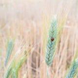 Onzelieveheersbeestje op gerstgebieden Royalty-vrije Stock Afbeelding