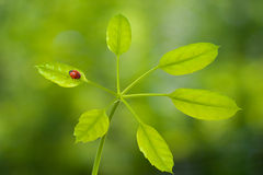Onzelieveheersbeestje op groen blad Royalty-vrije Stock Foto