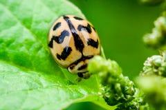 Onzelieveheersbeestje op groen blad in de tuin Stock Foto