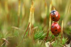 Onzelieveheersbeestje op mos Royalty-vrije Stock Foto