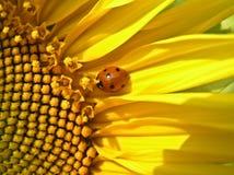 Onzelieveheersbeestje (septempunktata Coccinella) Royalty-vrije Stock Foto