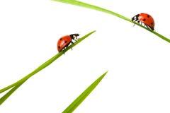 Onzelieveheersbeestje twee op vergadering Royalty-vrije Stock Foto