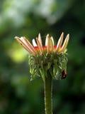 Onzelieveheersbeestje van de bloem Royalty-vrije Stock Afbeeldingen