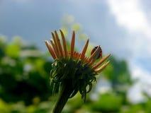 Onzelieveheersbeestje van de bloem Stock Afbeeldingen