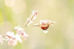 Onzelieveheersbeestjekever met een dauw in de ochtend royalty-vrije stock foto