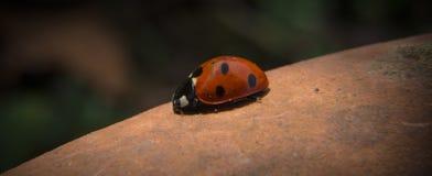 Onzelieveheersbeestjelieveheersbeestje stock afbeelding